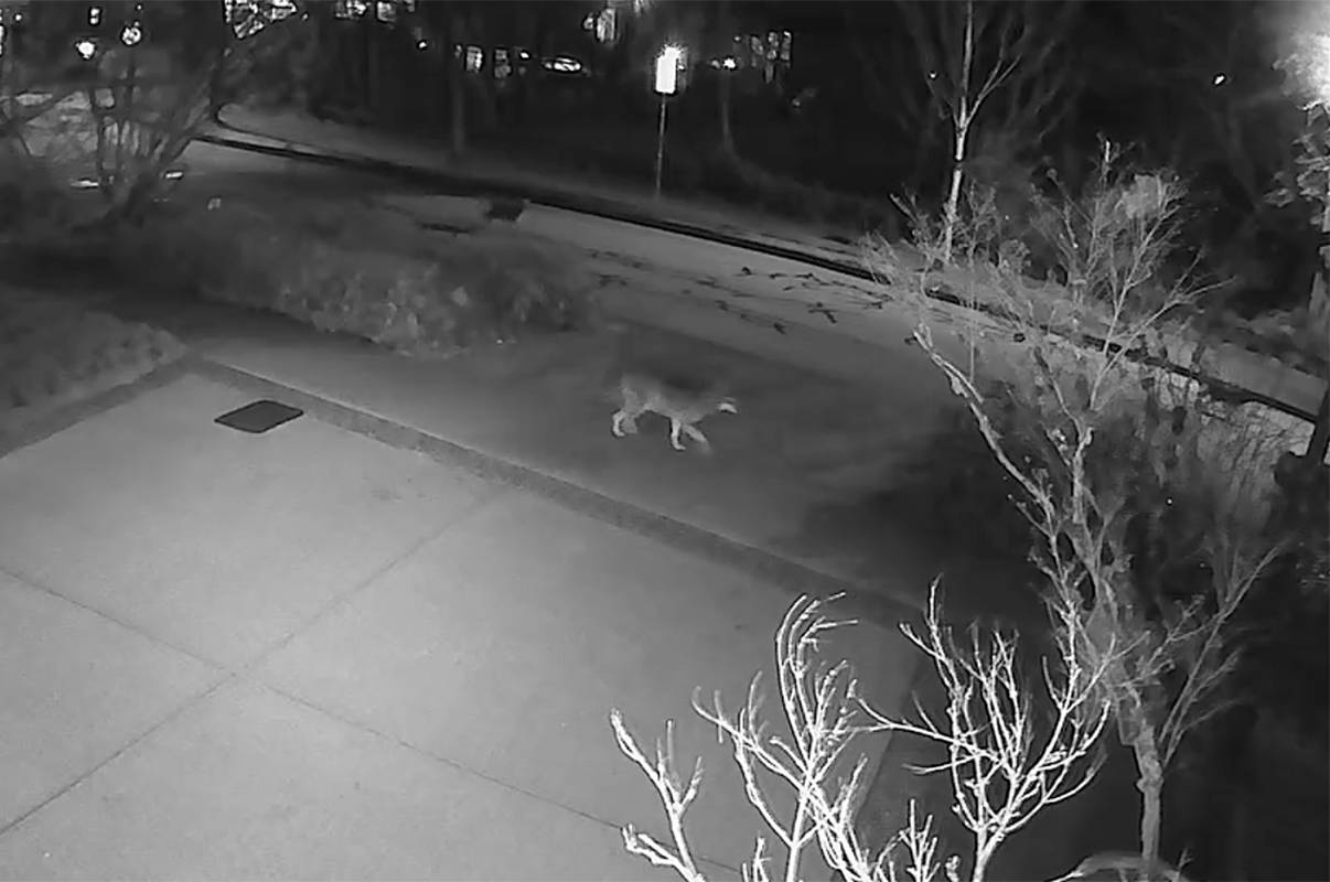 Coyotes walk down a Maple Ridge residential street. (Special to The News)